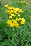 Gemeiner Tansy (Tanacetum vulgare) Stockfotos