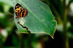 Gemeiner TIger Butterfly Lizenzfreies Stockfoto