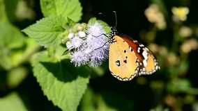 Gemeiner TIger Butterfly stock video