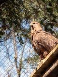 Gemeiner Turmfalke - Falco-tinnunculus - sitzt auf einer hölzernen Überdachung im Schatten von Bäumen und passt auf Opfer auf Stockbild