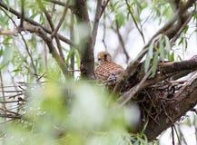 Gemeiner Turmfalke sitzt im Nest Lizenzfreie Stockfotos