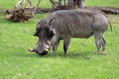 Gemeiner Warzenschwein-Eber Lizenzfreie Stockbilder