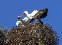 Gemeiner weißer Storch Stockbild