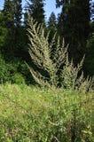Gemeiner Wermut, der auf sonniger Waldlichtung wächst stockbilder