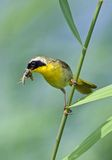 Gemeiner Yellowthroat mit Insekten Stockfotos