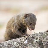 Gemeiner zwergartiger Mungo in Nationalpark Kruger Lizenzfreies Stockfoto