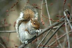 Gemeines östliches Grau-Eichhörnchen, das in einem Baum isst Lizenzfreie Stockfotografie