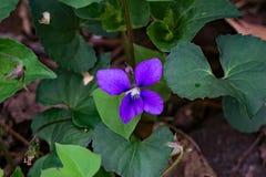 Gemeines blaues Veilchen - Viola sororia Stockbilder