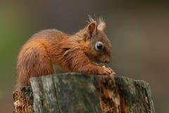 Gemeines Essen Eichhörnchen Sciurus auf einem Baumstumpf Lizenzfreie Stockfotografie