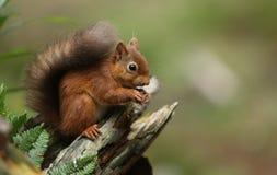 Gemeines Essen Eichhörnchen Sciurus auf einem Baumstumpf Stockbilder