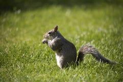 Gemeines graues Eichhörnchen Lizenzfreies Stockbild