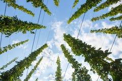 Gemeines Hopfen (Humulus lupulus) reif für die Ernte lizenzfreies stockfoto