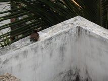 Gemeines indisches myna oder Vogel, die auf einer Wand stillstehen Stockbild
