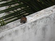 Gemeines indisches myna oder Vogel, die auf einer Wand stillstehen Stockfoto