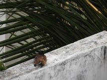 Gemeines indisches myna oder Vogel, die auf einer Wand stillstehen Stockfotografie