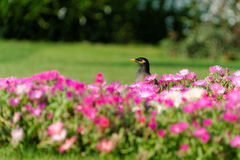 Gemeines myna und Blumenbeet Lizenzfreie Stockfotos