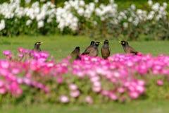Gemeines myna und Blumenbeet Stockfoto