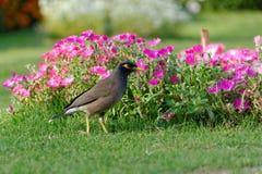 Gemeines myna und Blumenbeet Stockfotografie