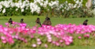 Gemeines myna und Blumenbeet Lizenzfreies Stockfoto