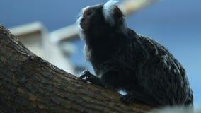 Gemeines Seidenäffchen im Zoo stock footage