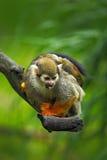 Gemeines Totenkopfäffchen, Saimiri sciureus, Tier, das auf der Niederlassung im Naturlebensraum, Costa Rica, Südamerika sitzt Lizenzfreies Stockfoto