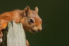 Gemeines vorbei schauen neugierigen Eichhörnchen Sciurus auf einem alten Baumstumpf Lizenzfreie Stockbilder