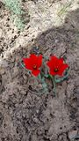 Gemelli del tulipano Fotografie Stock Libere da Diritti