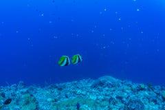 Gemelos Butterflyfish Fotos de archivo