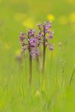 Gemelos de la orquídea Fotos de archivo libres de regalías