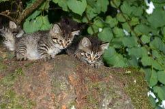 Gemelos de los gatitos Gatos salvajes Imágenes de archivo libres de regalías