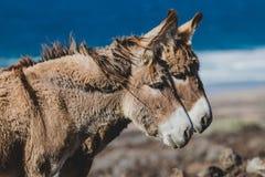Gemelos del burro Imagenes de archivo