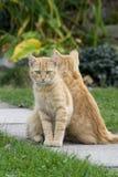 Gemelos del gato del jengibre Fotografía de archivo libre de regalías