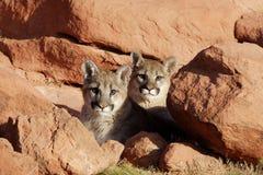Gemelos del león de montaña Imagen de archivo libre de regalías