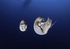 Gemelos del nautilus Foto de archivo