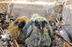 Gemelos, pájaros, pegion Foto de archivo libre de regalías