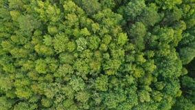 Gemengd bos van Siberië in de zomer stock video
