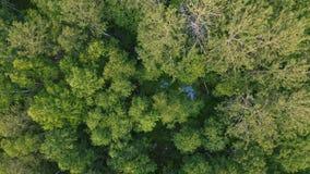 Gemengd bos van Siberië in de zomer stock footage
