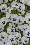 Gemengd van purper en wit kleurenviooltje, Altvioolaltaica of violette die bloem met sneeuw, Pancharevo wordt behandeld stock fotografie