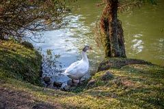 Gemengde Binnenlandse gans met wit lichaam en grijs hoofd bij de Zwarte & x28 van Lago; Zwarte Lake& x29; - Gramado, Rio Grande d Royalty-vrije Stock Afbeelding