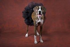 Gemengde Bokser Breen in een zwarte Tutu Stock Fotografie