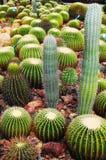 Gemengde cactussen in een serre Royalty-vrije Stock Foto's