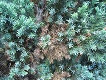 Gemengde groene en bruine pijnboomnaalden Royalty-vrije Stock Foto's