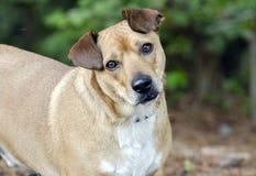 Gemengde het rassenhond van Basset Hound Corgie royalty-vrije stock afbeeldingen