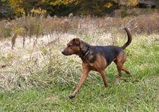 Gemengde het rassenhond van de bokser Herder. Stock Afbeelding