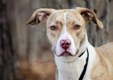 Gemengde het rassenhond van Pitbullterrier Windhond Royalty-vrije Stock Foto