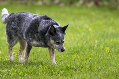 Gemengde Hond Royalty-vrije Stock Afbeeldingen