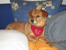 Gemengde Hond Stock Foto's