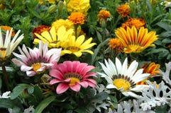 Gemengde kleurengazania stock foto's