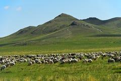 Gemengde kudde van schapen en de geiten die van Kashmir in de steppe weiden royalty-vrije stock foto