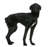Gemengde rassenhond, 1 en een half oude jaren Stock Afbeeldingen